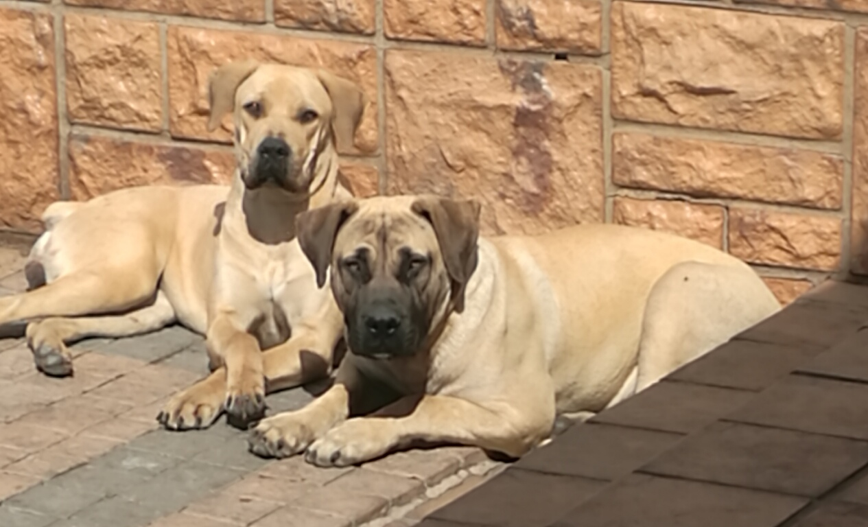 REGISTERED BOERBOEL