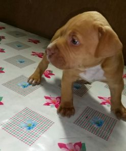 Pink nose American Pitbull Terriers